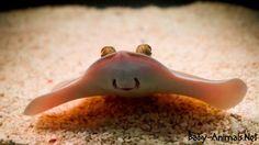 Cute baby stingray    #Babystingray  #babyanimals  #babyanimal  #stingray  #cutestingray  #Sweetstingray  #animals