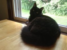 Buddy is an adoptable Domestic Long Hair-Black Cat in Pelham, NH. Buddy is one of three rescued from an undesirable situation. He's up to date on vaccines and litter box trained. He very calm ad laid...
