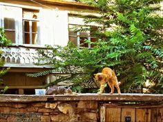 Kediler , Tekirdağ , Peştemalci