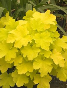 Easy to grow Coral Bells are versatile perennials! Coral Bells grown for bell shaped flowers and foliage. Offer gardeners option for color in shade gardens. Coral Bells Plant, Coral Bells Heuchera, Garden Shrubs, Shade Garden, Garden Plants, Garden Beds, Shade Perennials, Shade Plants, Organic Gardening