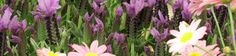 strait background lavender flower and daisies