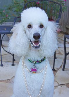 I just LOVE standard poodles! They are beautiful, very affectionate and highly intelligent dogs.
