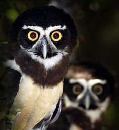 Spectacled Owl (Pulsatrix perspicillata). Photo by Nunes D'Acosta.