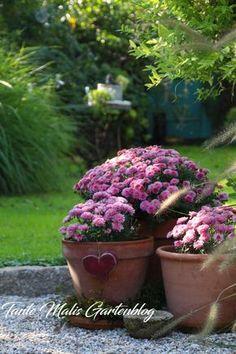 Chrysantemen im Topf