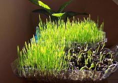 10 Tips para crecer el Wheatgrass (pasto de trigo) en tu cocina. Conoce sus maravillosos beneficios.