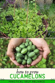 How to Grow Cucamelons (Mouse Melons) Cucamelons (also known as mouse melons and Mexican sour jerkins) are more than just a cute farmers market novelty. These tiny mouse melons are truly delicious, with a. Olive Garden, Garden Pests, Garden Care, Edible Garden, Vegetable Garden, Veggie Gardens, Garden Bed, Potager Garden, Garden Compost