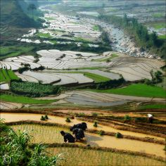 Vietnam, planting the rice