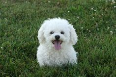 Getting a Bichon Frise dog? Here are the best things about Bichon Frise dogs + Health issues that are common in this breed. Read before adopting a Bichon dog.