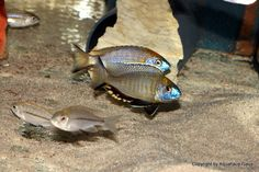 Nyassachromis Prostoma Gome – Fish according to steve Malawi Cichlids, African Cichlids, Rare Fish, Simple Pictures, Yellow Accents, Beautiful Fish, Planted Aquarium, Freshwater Fish, East Africa