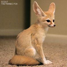 Scout, My pet Fennec Fox