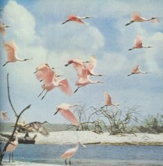 Spoonbills in Florida, 1954 - Vintage National geographic scans