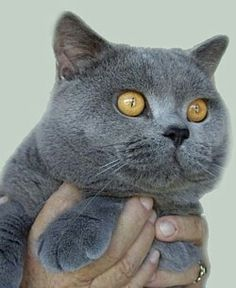 British Shorthair blue - British Shorthair - Ideas of British Shorthair - British Shorthair blue The post British Shorthair blue appeared first on Cat Gig. Beautiful Cats, Animals Beautiful, Cute Animals, Grey Cats, Blue Cats, Kittens Cutest, Cats And Kittens, British Blue Cat, Cat Years