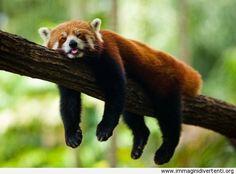 Panda rosso dorme sull'albero