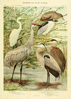 American Egret, Sandhill Crane, Black-crowned Night Heron, Great Blue Heron, herodias egretta, grus mexicana, nycticorax nycticorax naevius, ardea herodias      ...