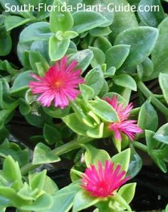 Baby Sun Rose -Aptenia cordifolia; non-native;  What's the best groundcover for hot, hot sun? Meet baby sun rose, an easy-care plant that thrives in hot, ...