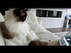 Cat sees his favorite birds on a tablet for the first time