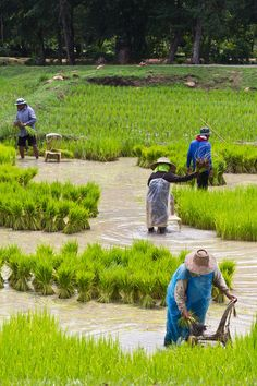 Growing rice. A new cultural psychology study has found that psychological differences between the people of northern and southern China mirror the differences between community-oriented East Asia and the more individualistic Western world -- and the differences seem to have come about because southern China has grown rice for thousands of years, whereas the north has grown wheat. Credit: © wacharaphong / Fotolia