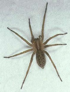 Hobo Spider Bite: Identification and Treatment Guide Spider Bite Identification, Hobo Spider Bite, Killing Spiders, Spider Killer, Brown Recluse Spider, Spider Pictures, House Spider, Cool Bugs, Spider Bites