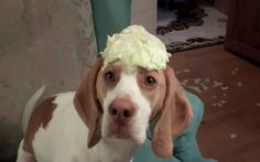 Adorable dog steals cabbage to eat.