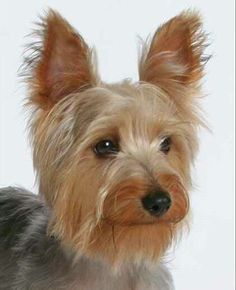 Australian Silky Terriers are the BEST! This so reminds me of you.Miss you Aussie. Pet Psychic, Red And White Setter, Australian Terrier, African Wild Dog, Best Dog Photos, Dog Varieties, Silky Terrier, Dog Furniture, Yorkie Puppy