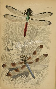 insects-05123 026-libellula ArtsCult.com Artscult ArtsCult vintage printable public domain 300 dpi commercial use 1800s 1700s 1900s Victorian Edwardian art clipart royalty free digital download picture collection pack paintings scan high qulity illustration old books pages supplies collage wall decoration ornaments Graphic engravings lithographs century 18th 17th Pictorial fabric transfer scrapbooking Paper craft instant masterpiece pr