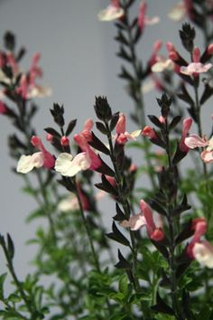 Salvia 'Autumn Moon'
