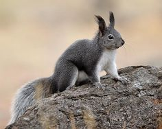 Abert's Squirrel, I think these are the squirrels around Crown King...
