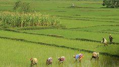 Colheita de arroz no Sudeste Asiático