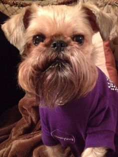 Lola my Brussels Griffon says it's almost Fall...let's get out the blankies!