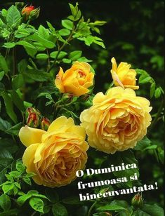Peony Flower, Hibiscus Flowers, Cactus Flower, Flowers Nature, Exotic Flowers, Tea Roses, Pink Roses, Pansies, Daffodils