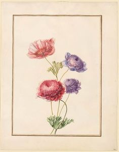 Circle of Madeleine Françoise Basseporte | Anemones (Anemone coronaria) | Drawings Online | The Morgan Library & Museum