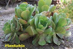 ●  Aeonium virgineum  Webb ex Christ       ·  Nombres comunes:  aeonium, aeonio, planta del aire, siempreviva arbórea   ·  Sinónimos más...