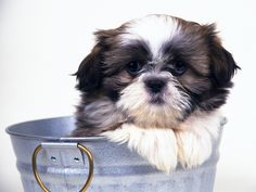 Cute Shih Tzu Puppies Backgrounds - Bing Images