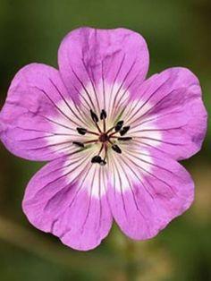 Perennial Geranium, Geranium Vivace, Pic Vert, Cactus Plante, Exotic Flowers, Geraniums, Hibiscus, Shrubs, Perennials