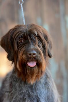 Wirehaired Pointing Griffon.