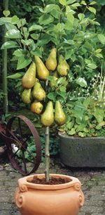 Vous rêvez de récolter de magnifiques poires sur votre balcon ou votre terrasse? Rien de plus simple : découvrez comment cultiver un poirier en pot.