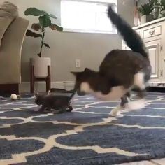 Cute Kitten Gif, Cute Cats And Kittens, I Love Cats, Crazy Cats, Kittens Cutest, Big Cats, Cute Animal Videos, Funny Animal Pictures, Cute Little Animals