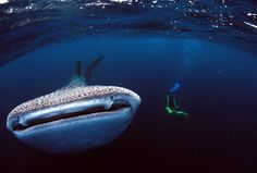 just a little fish in a big sea...how cool is that?!   -Whale Shark Swimming With Scuba Diver in Australia