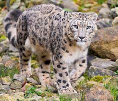 Snow leopard https://www.facebook.com/wildforests/photos/pb.167890169920691.-2207520000.1439842801./764439296932439/?type=3