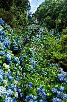 hydrangea comes out in rainy season, July #TaraMedium
