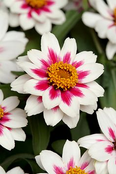 Zahara Starlight Rose Zinnia