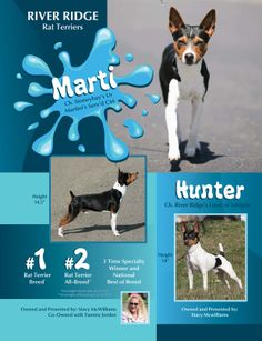 Rat Terriers moved into AKC in June of 2013