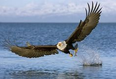 Researchers determined that the pesticide DDT made eagle eggs too fragile to survive. The pesticide was banned in the 1972 and the eagles are soaring across North America again. Contrary to popular belief, farmers are still in business. The Eagles, Bald Eagles, Haliaeetus Leucocephalus, Beautiful Birds, Animals Beautiful, All Gods Creatures, Birds Of Prey, Flying Birds, Bird Watching