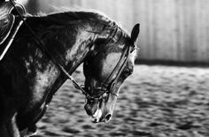 www.pegasebuzz.com   Equestrian Photography : Silvia Mozzon