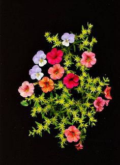 Virginia Twinam Smith Petunias and Sedum 2013 (a note about today's posts)