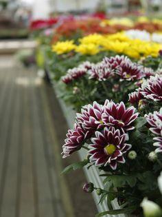 Puutarhamyymälästämme löytyy laaja valikoima kasveja syysistutuksiin.