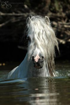 "Beautiful horse swimming. Such a pretty face and cute pink nose. Gorgeous long wavy white mane. ""Andalusian Lusitano Lippizzaner spanish horse Piccador Vaquero Charro"""