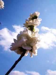 White Blossoms on a Tree  By Kristine Euler // Dallas Arboretum