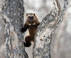wolverines are a super animal that can do about anything including taking down a black bear! they are near extinction though :(