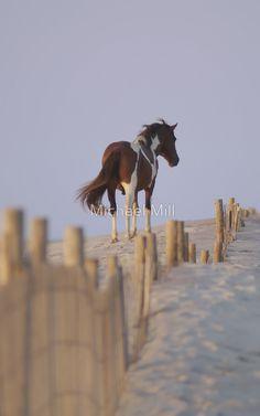 « Wild Pony of Assateague Island » par Michael Mill